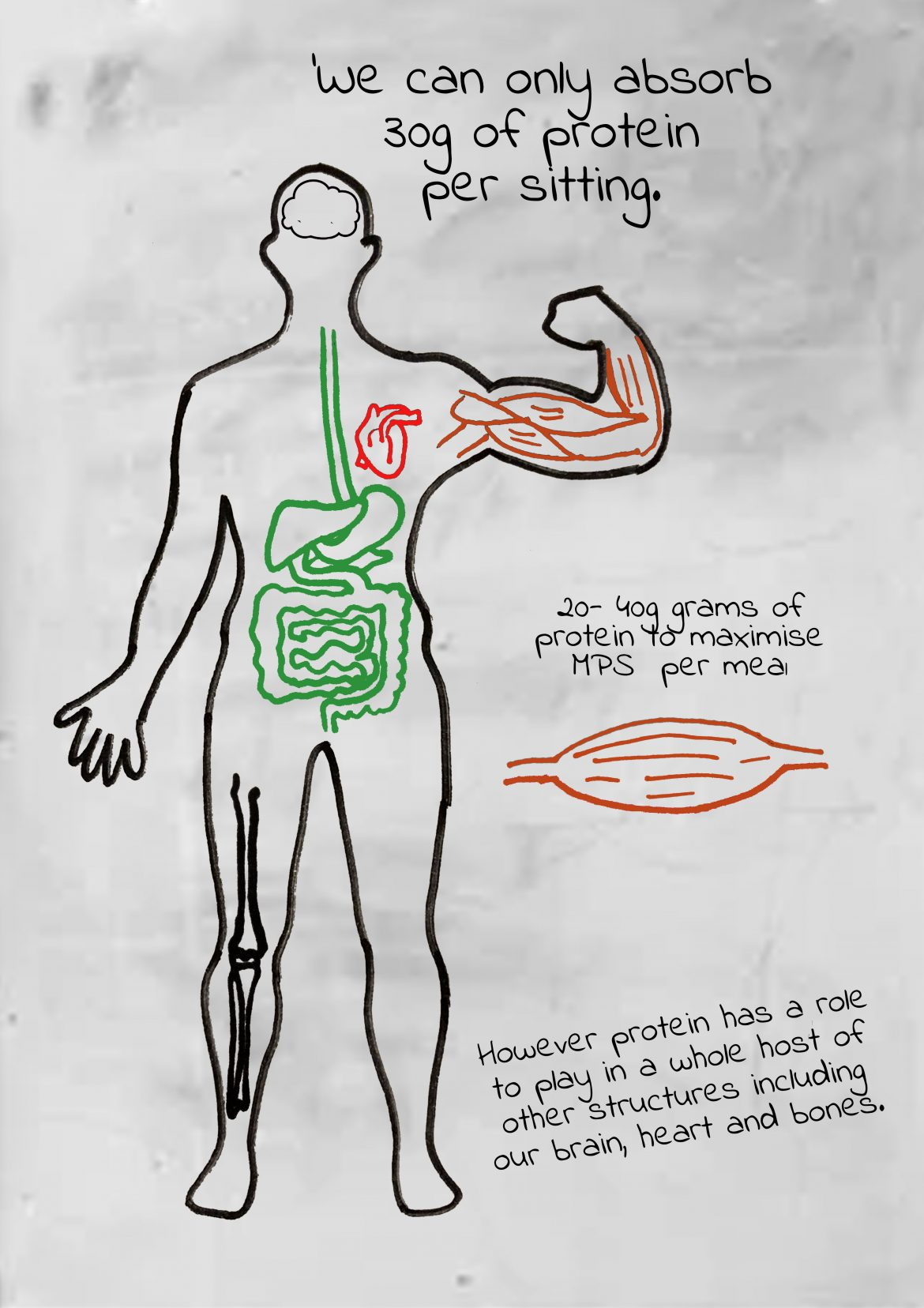 drawing of human body How much protein do you absorb per sitting